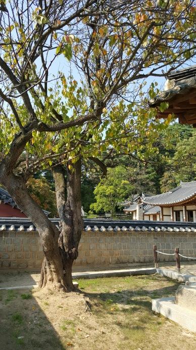 400-year-old-plum-tree